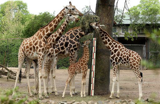 Giraffe Tamu m second right, is measured amongst the other giraffes at the annual animal inventory at Hagenbeck Zoo in Hamburg, Germany, Thursday May 16, 2013. &#40;AP Photo&#47;dpa, Christian Charisius&#41; <span class=meta>(AP Photo&#47; Christian Charisius)</span>