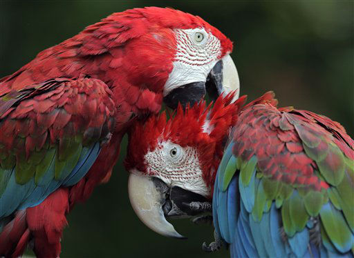 A pair of green winged  macaw cuddle up to one another at Chiba Zoological park in Chiba, near Tokyo, Sunday, June 30, 2013.&#40;AP Photo&#47;Itsuo Inouye&#41; <span class=meta>(AP Photo&#47; Itsuo Inouye)</span>
