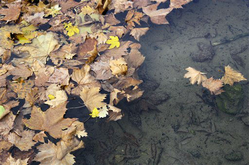 Fallen leafs float in a creek in a park, in Belgrade, Serbia, Sunday, Nov. 11, 2012. Weather forecast predicts good autumnal weather conditions in Serbia for the upcoming days. &#40;AP Photo&#47;Darko Vojinovic&#41; <span class=meta>(AP Photo&#47; Darko Vojinovic)</span>