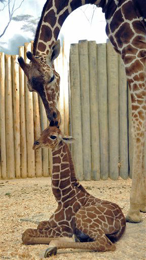 This photo taken Nov. 20 2012 in Brookfield, Ill., and provided by the Chicago Zoological Society shows,  A male giraffe calf born at Brookfield Zoo on Nov. 12, 2012 with his mom, Arnieta. This calf is the 58th giraffe born at Brookfield Zoo. His birth marks three generations of giraffes at Brookfield Zoo, and he can can be seen indoors in the zoo?s Habitat Africa! The Savannah exhibit.  &#40;AP Photo&#47;Chicago Zoological Society, Jim Schulz&#41; NO SALES <span class=meta>(AP Photo&#47; Jim Schulz)</span>