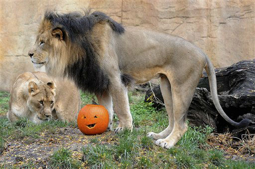 In this Wednesday, Oct. 24, 2012 photo provided by the Chicago Zoological Society, Isis, a 7-year-old female African lion, appears to be getting ready to pounce on one of the pumpkins she and her partner, Zenda, 6, received at Brookfield Zoo in Brookfield, Ill. During the fall season, many of the zoo?s other animals receive pumpkins also. Zoo guests can see some of the animals receiving pumpkins during the annual Boo! at the Zoo celebration this coming weekend, Oct. 27-28. &#40;AP Photo&#47;Chicago Zoological Society, Jim Schulz&#41; <span class=meta>(AP Photo&#47; Jim Schulz)</span>