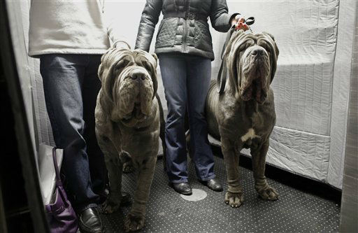 FILE- In this Feb. 10, 2013, file photo, a pair of Neopolitan Bull Mastifs named Paparazzi and Ruben ride the elevator with their owners after checking into the Hotel Pennsylvania in New York ahead of the 137th Annual Westminster Kennel Club Dog Show. Although some larger breeds like the Bull Mastif, look imposing to some, eat lots of food and may suffer health issues that aren?t seen in smaller breeds, large breeds remain favorites among dog owners and the general public alike.  &#40;AP Photo&#47;Kathy Willens, File&#41; <span class=meta>(AP Photo&#47; Kathy Willens)</span>