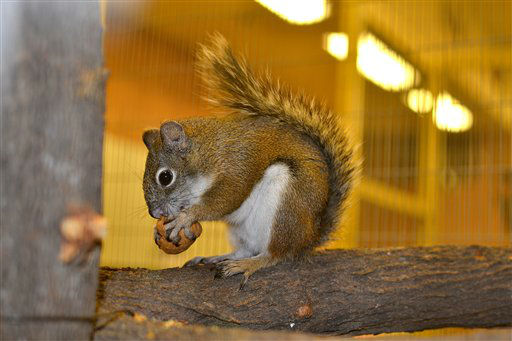 This undated photo provided by the Phoenix Zoo shows a Mount Graham red squirrel in Phoenix. The Phoenix Zoo is Noah&#39;s Ark for the only two Mount Graham red squirrels in captivity. They could be the first incorporated into a pilot breeding program awaiting approval from the U.S. Fish and Wildlife Service. &#40;AP Photo&#47;Phoenix Zoo, Tara Sprankle&#41; <span class=meta>(AP Photo&#47; Courtesy of Phoenix Zoo)</span>