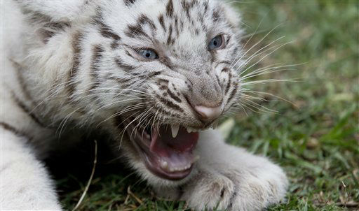 A White tiger cub growls in its enclosure at the Buenos Aires Zoo in Argentina, Thursday, March 21, 2013.  The Argentine zoo is showing off four new white tiger cubs that Cleo, a Bengal white tiger, gave birth to on Jan. 14.  Zoo officials say the blue-eyed cubs with coats of black stripes on white bring the number  of White Bengal tigers at the zoo to nine. &#40;AP Photo&#47;Natacha Pisarenko&#41; <span class=meta>(AP Photo&#47; Natacha Pisarenko)</span>