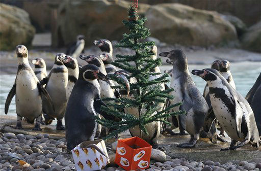 Penguins look for fish placed around a Christmas tree during a media opportunity at London Zoo, Wednesday, Dec. 12, 2012. The animals at ZSL London Zoo are set to enjoy a wild Christmas this year, with some very merry treats. Lion cubs Heidi and Indi have definitely made it on to Santa?s ?good? list and will be getting their paws on some presents, whilst the penguins will be treated to festive fishy gifts under the tree. &#40;AP Photo&#47;Kirsty Wigglesworth&#41; <span class=meta>(AP Photo&#47; Kirsty Wigglesworth)</span>