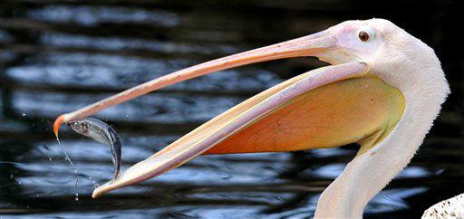 """<div class=""""meta """"><span class=""""caption-text """">Ein Rosapelikan (Pelecanus onocrotalus) frisst am Mittwoch (02.01.13) im Gehege im Zoo in Dresden einen Fisch. Grosse Brutgebiete der Rosapelikane sind das Donaudelta in Rumaenien und die Walfischbucht in Namibia. Foto: Matthias Rietschel/dapd</span></div>"""