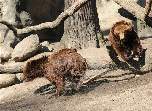 Two Kamchatka Brown Bears  run in their enclosure at Hagenbeck Zoo in Hamburg,?Germany, Tuesday April 2, 2013. &#40;AP Photo&#47;dpa, Angelika Warmuth&#41; <span class=meta>(AP Photo&#47; Angelika Warmuth)</span>