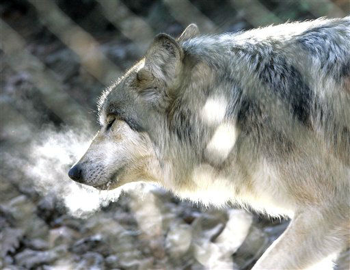 File-This Jan. 26,2007 file photo showing a Mexican Grey Wolf exhaling in cold weather as he walks in his den at the Stone Zoo in Stoneham, Mass.  Federal wildlife managers are expected to announce Wednesday how many endangered wolves are in the wild in New Mexico and Arizona. Since efforts began in 1998 to return Mexican gray wolves to the Southwest, the population has never topped 60, far below what biologists had expected by now.&#40;AP Photo&#47;Elise Amendola,File&#41; <span class=meta>(AP Photo&#47; Elise Amendola)</span>