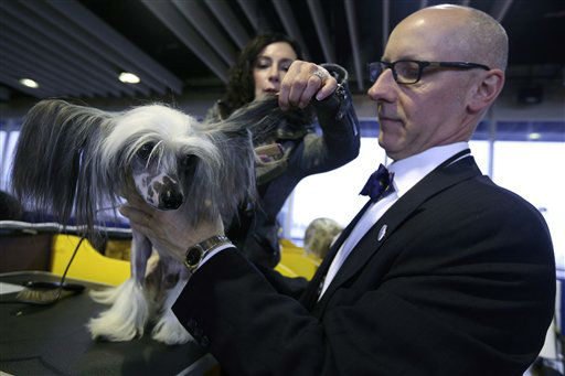 Karen Spinazzola, background, and David Bowen, of Cleveland, Ohio, groom Vinny, a Chinese Crested during the 137th Westminster Kennel Club dog show, Monday, Feb. 11, 2013 in New York.  &#40;AP Photo&#47;Mary Altaffer&#41; <span class=meta>(AP Photo&#47; Mary Altaffer)</span>