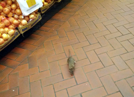 Rats were captured on camera running around inside the Fairway Supermarket on the Upper West Side.  From http:&#47;&#47;myupperwest.com. <span class=meta>(http:&#47;&#47;myupperwest.com.)</span>