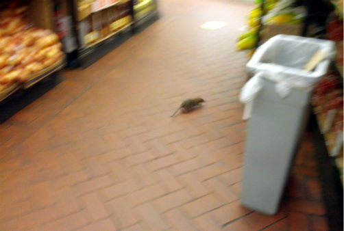 "<div class=""meta ""><span class=""caption-text "">Rats were captured on camera running around inside the Fairway Supermarket on the Upper West Side.  From http://myupperwest.com. (http://myupperwest.com)</span></div>"