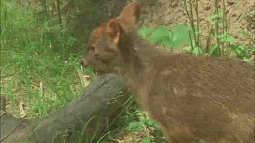 "<div class=""meta ""><span class=""caption-text "">Wildlife officials say a member of the world's smallest deer species has been born at a New York City zoo. The doe weighed 1 pound when it was born last month at the Queens Zoo.</span></div>"