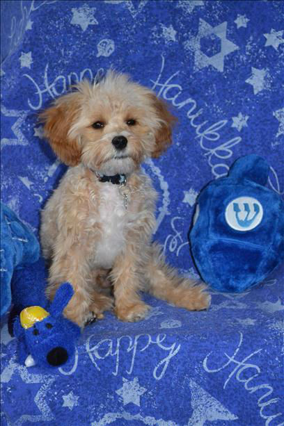 4 month old puppy &#34;Baci&#34; the cavapoo, cavalier&#47;poodle.  <span class=meta>(Robin B. Waterman)</span>