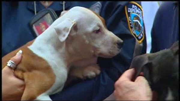 "<div class=""meta ""><span class=""caption-text "">At least one person was arrested in an alleged dogfighting ring in the Bronx.  Dozens of dogs were rescued.</span></div>"