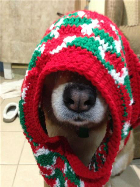 A dog tries on a Christmas sweater.