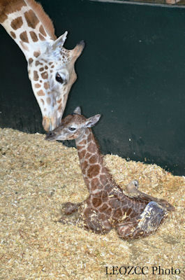 Petal, a 6-year-old Rothschild giraffe gave birth on Friday to female calf at a Greenwich conservation site.  <span class=meta>(LEOZCC Photo)</span>