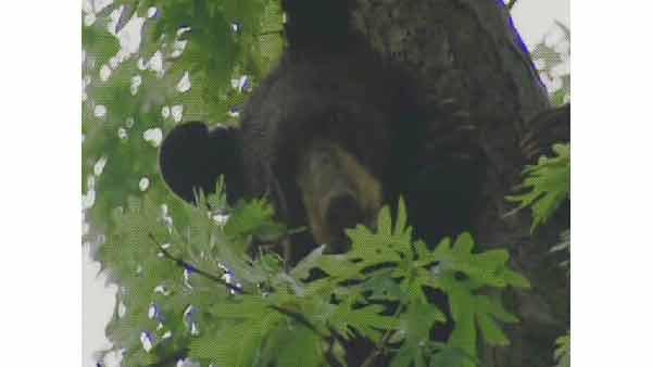 A bear up in a tree in New Jersey.