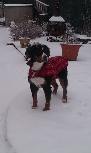 "<div class=""meta ""><span class=""caption-text "">Dog in the snow.</span></div>"