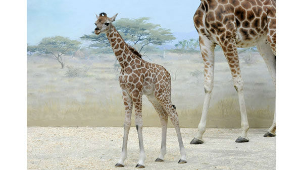 A baby giraffe that was born at the Bronx Zoo will be on display next week.