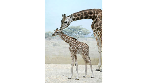"<div class=""meta image-caption""><div class=""origin-logo origin-image ""><span></span></div><span class=""caption-text"">A baby giraffe that was born at the Bronx Zoo will be on display next week.</span></div>"