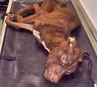 Authorities have made an arrest in connection with the discovery of an emaciated pit bull tossed down a trash chute in Newark. Veterinarians caring for the dog estimated he would have died within hours if he hadn&#39;t received medial treatment.  The dog has been named &#34;Patrick&#34; because he made it through the night and into St. Patrick&#39;s Day.  <span class=meta>(NJSPCA)</span>
