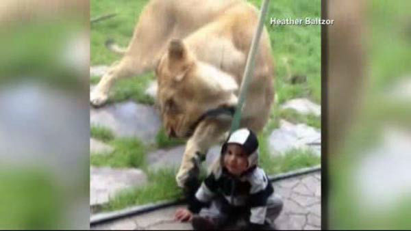lion behind glass paws and tries to eat toddler at portaland zoo