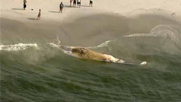 A finback whale estimated to be about 30-40 feet long has washed up dead on a New York beach.
