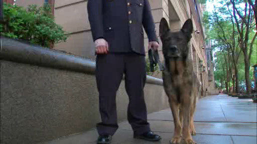 "<div class=""meta ""><span class=""caption-text "">Bear, a member of the NYPD Transit Bureau's K-9 Unit, sustained four broken teeth and cuts to his tongue when he and his handler responded to the scene of a fight at the 59th Street Subway Station in Manhattan.  His handler, Officer Vincent Tieniber sustained a sprained wrist. </span></div>"