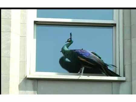 A peacock got out of the Central Park Zoo and ended up on a building on 5th Ave.