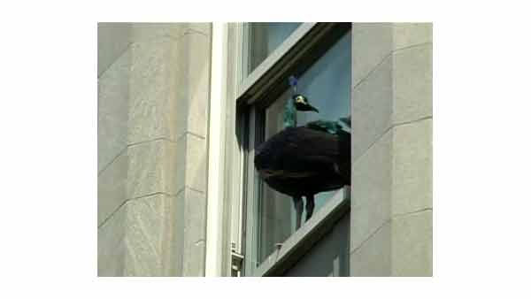A peacock got out of the Central Park Zoo and ended up on a 5th ave. apt. building.