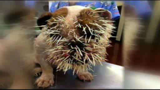 "<div class=""meta image-caption""><div class=""origin-logo origin-image ""><span></span></div><span class=""caption-text"">Bella the bulldog learned the hard way not to mess with a porcupine.  Vets removed 500 needles from the bulldog.</span></div>"