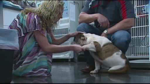 Bella the bulldog learned the hard way not to mess with a porcupine.  Vets removed 500 needles from the bulldog.