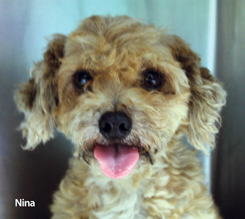 68 small breed dogs including, Shih Tzu?s, Poodles, Maltese, Pomeranians, Pekingese, rescued from a fire on Staten Island are available for adoption.  They range in age from puppies to seniors. If you are interested in adopting one of the dogs please email adoption@nycacc.org for further information.