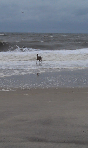 Deer on Monmouth Beach from an Eyewitness News viewer