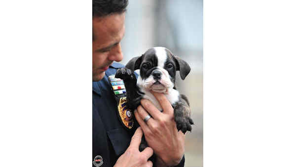 "<div class=""meta ""><span class=""caption-text "">A 7-week-old English bulldog that was taken from an Elmwood Park pet store on Monday has been recovered. (Photo/Tim Wynkoop)</span></div>"