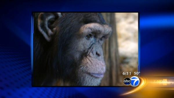 Chimp dies, 6 others sick at zoo