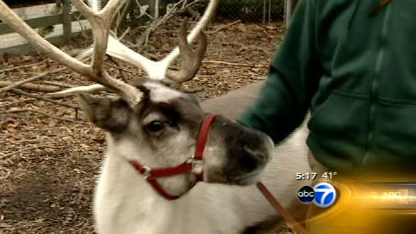 Reindeer calves arrive just in time for Christmas