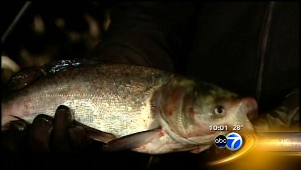 One Asian carp found in canal after fish kill