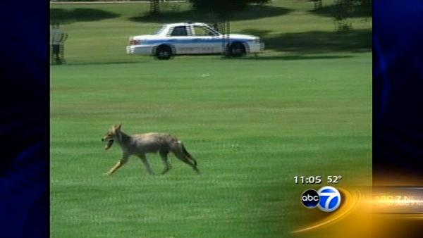 Coyote trapper hired by Wheaton