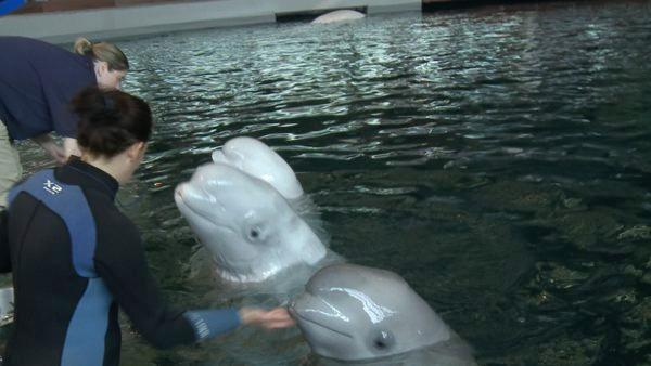 Behind-the-Scenes: Training the Beluga Whales