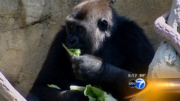 Ducks, gorillas living together at Chicago zoo