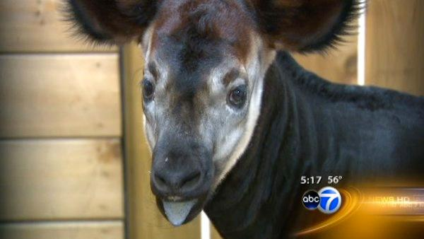 Okapi born at Brookfield Zoo