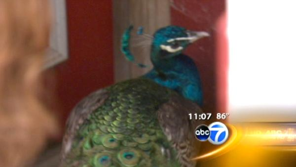 West Side family reunited with lost peacock