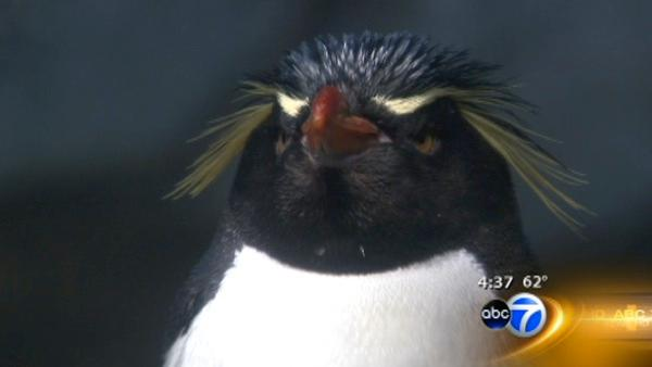 Penguins leaving Lincoln Park Zoo