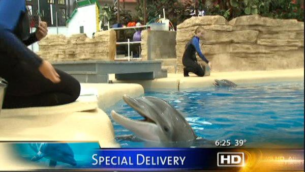 Brookfield Zoo dolphin about to give birth