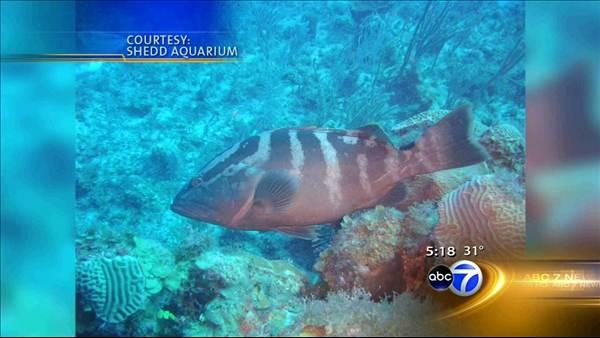Shedd tries to save grouper, an endangered fish