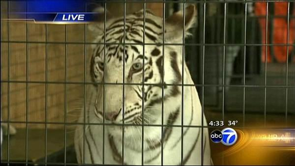 White tigers exhibit shut down at Navy Pier