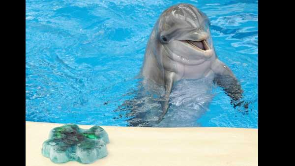 Tapeko, a 30-year-old bottlenose dolphin at Brookfield Zoo, gets a shamrock-shaped ice treat fr
