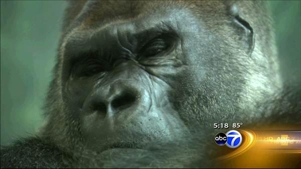 Gorilla JoJo heads to suburbs; son gets bachelor pad