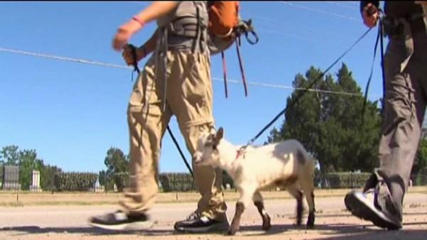 5 walking from AZ to IL with goat to break Cubs curse